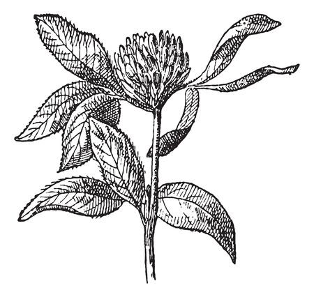Rotklee oder Trifolium pratense, Jahrgang gravierte Darstellung. Wörterbuch der Wörter und Dinge - Larive und Fleury - 1895. Standard-Bild - 35185953