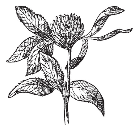 Red Clover or Trifolium pratense, vintage engraved illustration. Dictionary of words and things - Larive and Fleury - 1895.