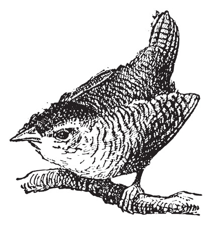 troglodyte: Troglodyte bird, vintage engraved illustration. Dictionary of words and things - Larive and Fleury - 1895. Illustration