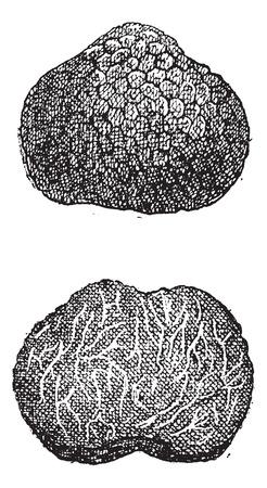 truffe blanche: Truffes, millésime gravé illustration. Dictionnaire des mots et des choses - Larive et Fleury - 1895 Illustration