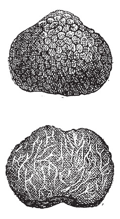 white truffle: Truffles, vintage engraved illustration. Dictionary of Words and Things - Larive and Fleury - 1895