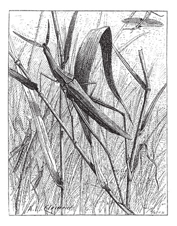 Nosed Grasshopper or Acrida hungarica, vintage engraved illustration. Dictionary of Words and Things - Larive and Fleury - 1895