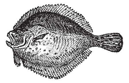 ichthyology: Turbot or Scophthalmus maximus, vintage engraved illustration. Dictionary of Words and Things - Larive and Fleury - 1895 Illustration