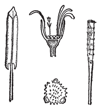 herbology: Coltsfoot or Tussilago farfara, showing (clockwise from left) petals, flower head, style, and pollen (enlarged), vintage engraved illustration. Dictionary of Words and Things - Larive and Fleury - 1895