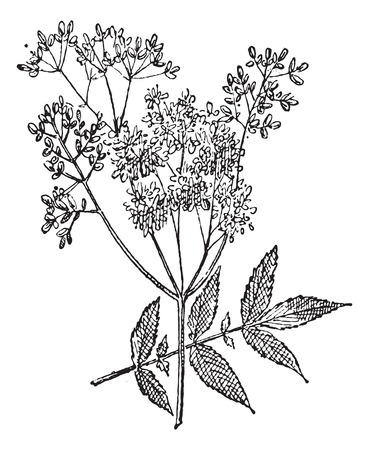 herbology: Meadowsweet or Filipendula ulmaria, vintage engraved illustration. Dictionary of Words and Things - Larive and Fleury - 1895 Illustration