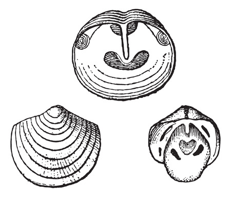 Obolus, fossil showing (a) interior of the ventral valve, (b) exterior of the dorsal valve, and (c) interior of the dorsal valve,vintage engraved illustration. Dictionary of Words and Things - Larive and Fleury - 1895