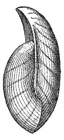 fossil: Uncites gryphus, f�siles, ilustraci�n de la vendimia grabado. Diccionario de palabras y las cosas - Larive y Fleury - 1895