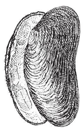 cozza: Fiume di cozze o Unio sp., Vintage illustrazione inciso. Dizionario di parole e cose - Larive e Fleury - 1895