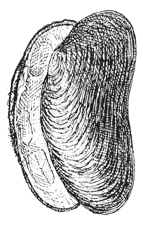 mussel: River Mussel or Unio sp., vintage engraved illustration. Dictionary of Words and Things - Larive and Fleury - 1895
