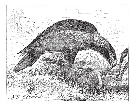 Wedge-tailed Eagle or Aquila audax, shown eating a kangaroo cadaver, vintage engraved illustration. Dictionary of Words and Things - Larive and Fleury - 1895 Illustration