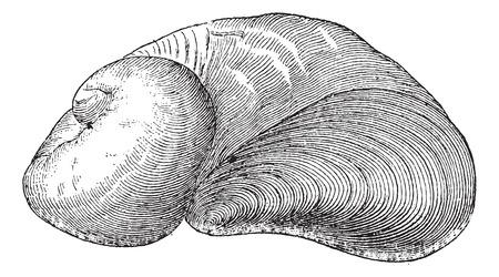 ammonia: Amoniaco Requienia, f�sil, cosecha ilustraci�n grabada. Diccionario de palabras y las cosas - Larive y Fleury - 1895 Vectores