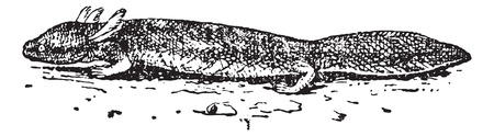 zoological: Salamander or Urodela, vintage engraved illustration. Dictionary of Words and Things - Larive and Fleury - 1895