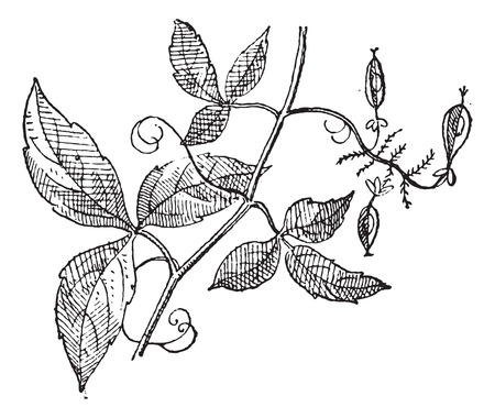 horticultural: Urvillea or Urvillea sp., vintage engraved illustration. Dictionary of Words and Things - Larive and Fleury - 1895
