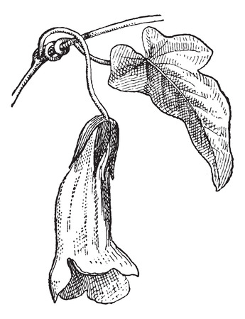 Usteria or Usteria sp., vintage engraved illustration. Dictionary of Words and Things - Larive and Fleury - 1895