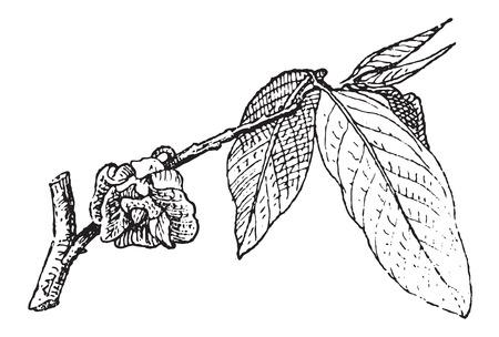 pesticida: Papaya com�n o Asimina triloba, mostrando flor, vintage, ilustraci�n, grabado. Diccionario de palabras y las cosas - Larive y Fleury - 1895