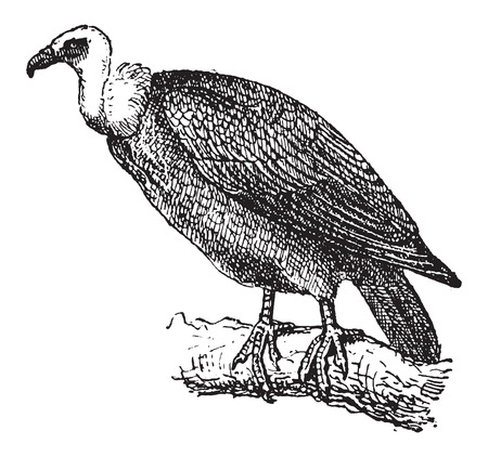 Griffon Vulture or Gyps fulvus, perched on a branch, vintage engraved illustration. Dictionary of Words and Things - Larive and Fleury - 1895 Illustration