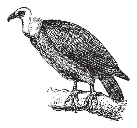 Vale gier of Gyps fulvus, hoog op een tak, vintage gegraveerde illustratie. Woordenboek van woorden en dingen - Larive en Fleury - 1895
