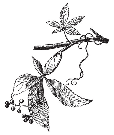 black grape: Vine Virgin, vintage engraved illustration. Dictionary of words and things - Larive and Fleury - 1895.