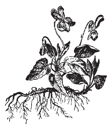 viola: Viola or Violet, vintage engraved illustration. Dictionary of words and things - Larive and Fleury - 1895. Illustration