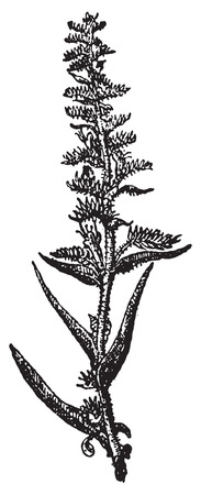 bristly: Echium vulgare or Vipers Bugloss or Blueweed, vintage engraved illustration. Dictionary of words and things - Larive and Fleury - 1895. Illustration