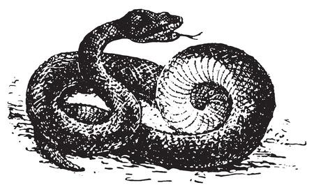 serpiente de cascabel: Vipera aspis, cosecha ilustración grabada. Diccionario de palabras y las cosas - Larive y Fleury - 1895.