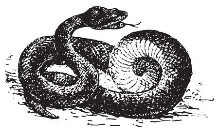 asp: Vipera aspis, vintage engraved illustration. Dictionary of words and things - Larive and Fleury - 1895. Illustration
