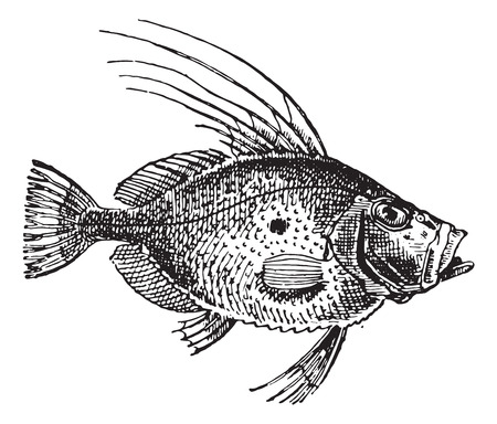 John Dory or Saint Pierre Fish or Saint Peter Fish or Zeus faber, vintage engraved illustration. Dictionary of words and things - Larive and Fleury - 1895.