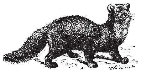 marten: Sable, vintage engraved illustration. Dictionary of words and things - Larive and Fleury - 1895.
