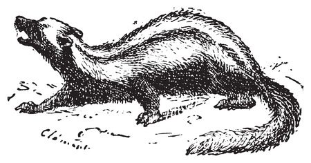 omnivore: Zorilla or Striped polecat or African polecato or Zoril or Zorille or Cape polecat or African skunk, vintage engraved illustration. Dictionary of words and things - Larive and Fleury - 1895.