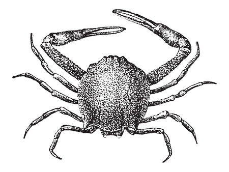 crustacea: Leucosiid Crab or Leucosiidae, vintage engraved illustration. Dictionary of Words and Things - Larive and Fleury - 1895