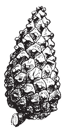 pine cone: Fig. 16. Pine, vintage engraved illustration. Pine cone isolated on white. Dictionary of words  and things - Larive and Fleury - 1895. Illustration