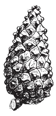 pomme de pin: Figue. 16. Pine, illustration vintage gravé. Cône de pin isolé sur blanc. Dictionnaire des mots et des choses - Larive et Fleury - 1895.