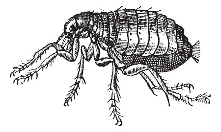 wingless: Flea isolated on white background, vintage engraved illustration. Dictionary of words and things - Larive and Fleury - 1895.