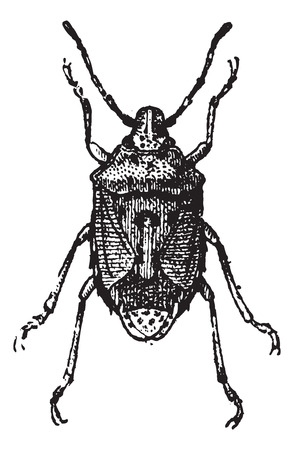arthropods: Fig 13. Bug,  vintage engraved illustration. Bug isolated on white. Dictionary of words and things - Larive and Fleury - 1895.