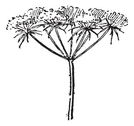 ニンジンニンジン野生のニンジン、または鳥の巣または司教のレースまたはアン女王のレース、ヴィンテージの図は刻まれました。辞書の単語との