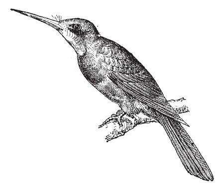 passerine: Jacamar Green, vintage engraved illustration. Dictionary of words and things - Larive and Fleury - 1895.