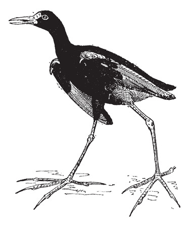 wader: Jacana or Jesus birds or  Lily trotters, vintage engraved illustration. Dictionary of words and things - Larive and Fleury - 1895.