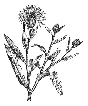 Knapweed or Centaurea or starthistles, vintage engraved illustration. Dictionary of words and things - Larive and Fleury - 1895. Illusztráció
