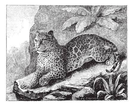 jaguar: Jaguar, cosecha ilustración grabada. Diccionario de palabras y las cosas - Larive y Fleury - 1895.