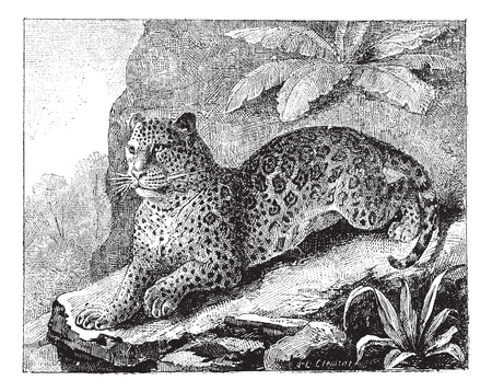 black and white panther: Jaguar, vintage engraved illustration. Dictionary of words and things - Larive and Fleury - 1895.