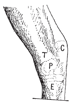 tarsal: Hock or gambrel, left of the horse, vintage engraved illustration. Dictionary of words and things - Larive and Fleury - 1895.
