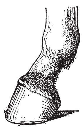 navicular: Javart formed at the foot of horse, vintage engraved illustration. Dictionary of words and things - Larive and Fleury - 1895.