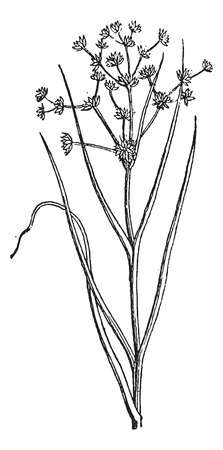 grass blades: Juncus acutiflorus or Sharp-flowered Rush, vintage engraved illustration. Dictionary of words and things - Larive and Fleury - 1895.