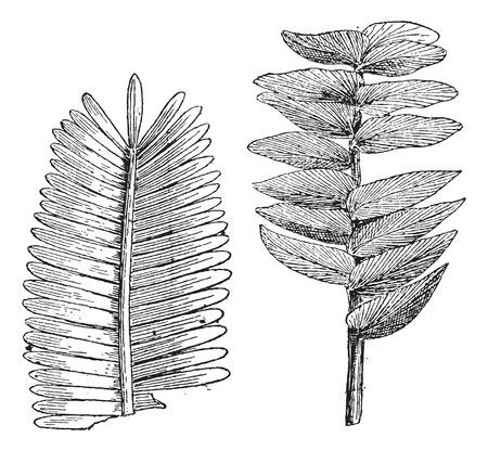 pterophyllum: Jurassic age, Pterophyllum jaegeri, otozamites decorus, vintage engraved illustration. Dictionary of words and things - Larive and Fleury - 1895. Illustration