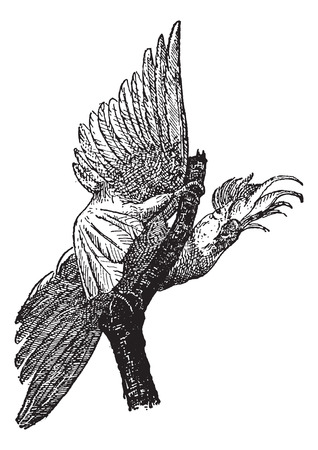 cockatoo: Cockatoo isolated on white background, vintage engraved illustration. Dictionary of words and things - Larive and Fleury - 1895. Illustration