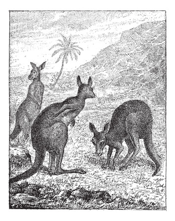 Kangaroo, vintage engraved illustration. Dictionary of words and things - Larive and Fleury - 1895.