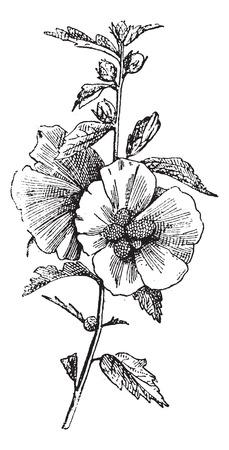 Hibiscus (hisbiscus syriacus), millésime gravé illustration. Dictionnaire des mots et des choses - Larive et Fleury - 1895. Banque d'images - 35352755