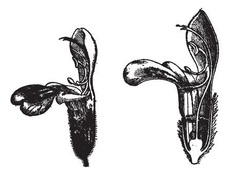 salvia: Labiatae, flower sage,  vintage engraved illustration. Dictionary of words and things - Larive and Fleury - 1895.