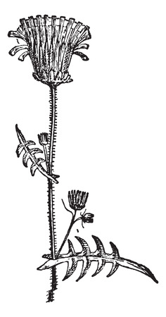 herbaceous: Milkweed, vintage engraved illustration. Dictionary of words and things - Larive and Fleury - 1895. Illustration