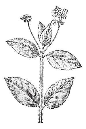 umbel: Lantana, a flowering plant, vintage engraved illustration. Dictionary of words and things - Larive and Fleury - 1895.
